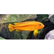 Рэд йохани (Melanochromis Johanni Red) - 2-3см