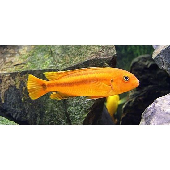 Фото Рэд йохани (Melanochromis Johanni Red) - 2-3см Купить