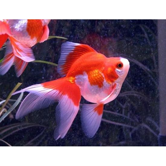 Фото Риукин красно-белый  (Carassius auratus) - 6-7см Смотреть