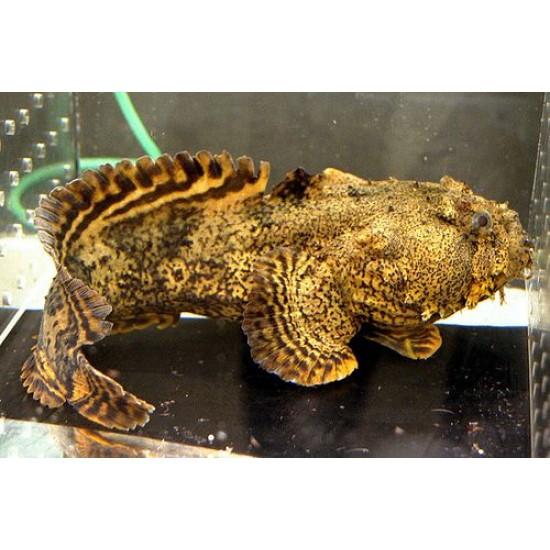 Фото Рыба лев (Halophryne trispinosus) - 13см labeo.com.ua