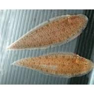Рыба язык (Synaptura lusitanica) - 5-7см