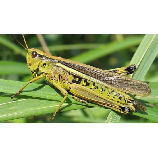 Фото Саранча перелетная (Locusta migratoria), шт. Купить