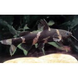 Сиамская касатка (Leiocassis siamensis) - 3см