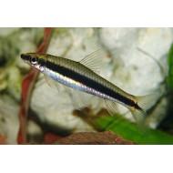 Сиамский водорослеед САЕ (Epalzeorhynchos siamensis) - 3см