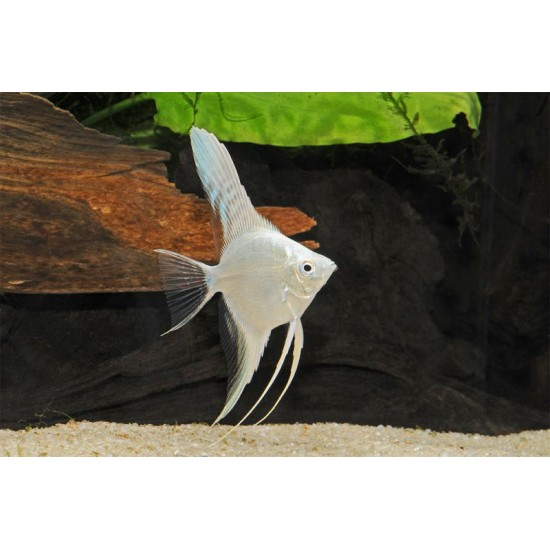 Фото Скалярия белая (Pteregophylum Scallare) - 3-3.5см Смотреть