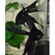 Скалярия черная обычная\вуалевая  (Pteregophylum Scallare) - 3-4см