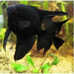 Скалярия черная (Pteregophylum Scallare) - 4-4,5см