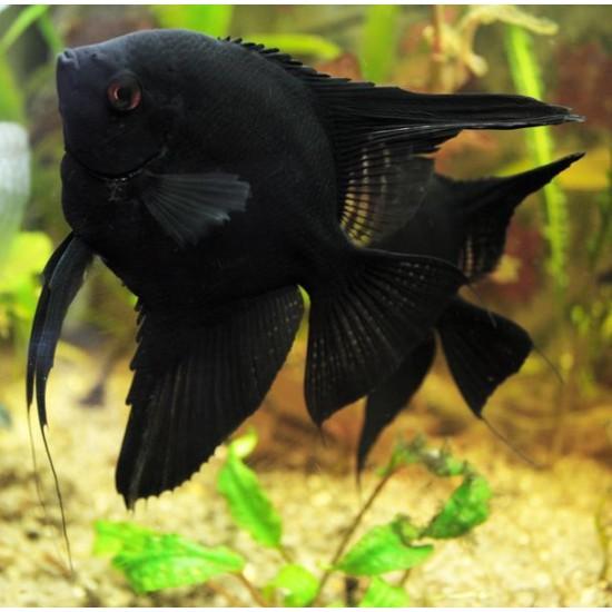 Фото Скалярия черная (Pteregophylum Scallare) - 4-5см labeo.com.ua