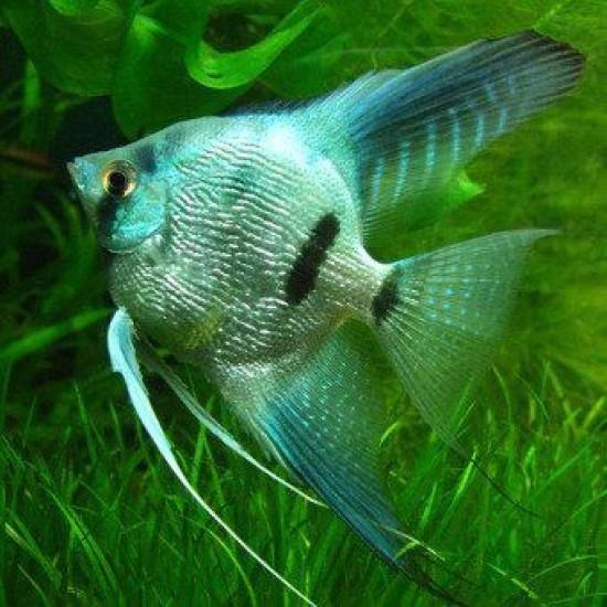 Фото Скалярия голубая (Pteregophylum Scallare) - 3-4см labeo.com.ua