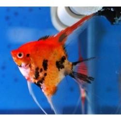 Скалярия красно-черная (Pteregophylum Scallare) - 3-4см