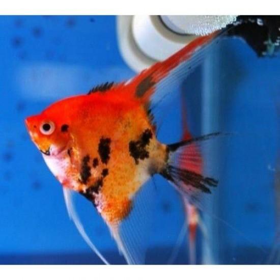 Фото Скалярия красно-черная (Pteregophylum Scallare) - 3-4см Смотреть