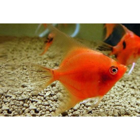 Фото Скалярия красный дьявол (Pteregophylum Scallare) - 3-3,5см Купить