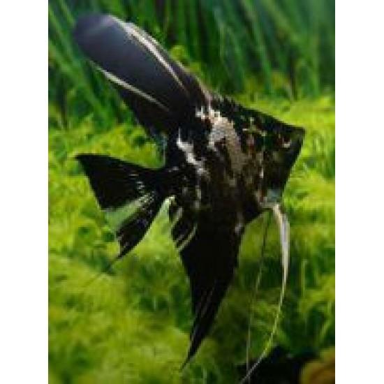 Фото Скалярия мраморная обычная/ вуалевая (Pteregophylum Scallare) - 3-4см Купить