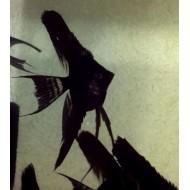 Скалярия якобинец черная (Pteregophylum Scallare) - 3-3,5см