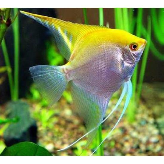 Фото Скалярия желтая (Pteregophylum Scallare) - 4-4,5см Смотреть