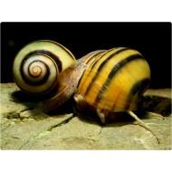 Спикси полосатая (Asolene spixi) - 1-2см