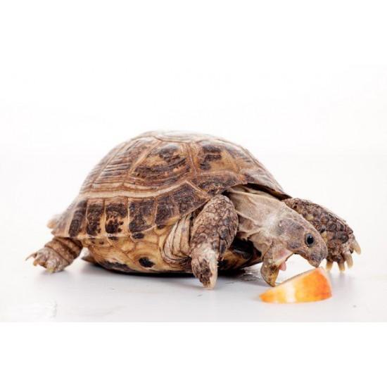 Фото Среднеазиатская сухопутная черепаха (Testudo horsfieldii) - 9-10см Смотреть