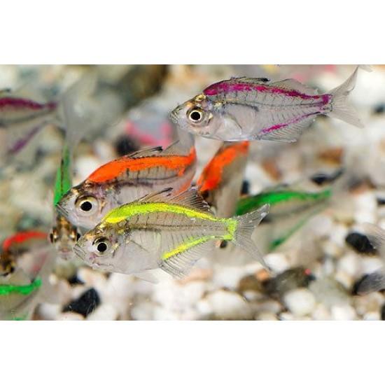 Фото Стеклянный окунь цветной неоновый (Ambassis ranga) - 4см Смотреть