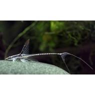 Стурисома панамская (Sturisoma panamense) - 5-6см