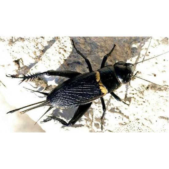 Фото Сверчок двупятнистый (Gryllus bimaculatus), тыс. шт Купить