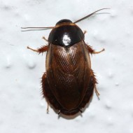 Таракан суринамский (Picnoscelus surinamensis), тыс. шт