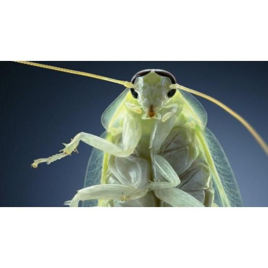 Фото Таракан зеленый (Panchlora nivea), тыс. шт Смотреть