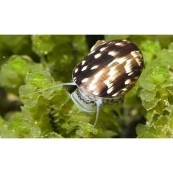 Теодоксус (Theodoxus fluviatilis) - 0.5см