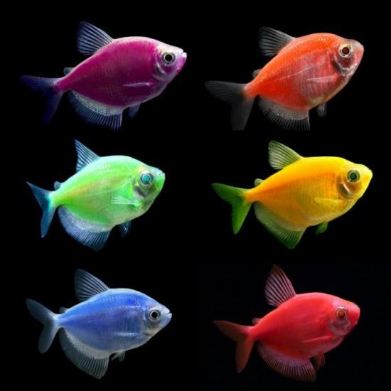 Фото Тернеция глофиш GloFish микс (Gymnocorymbus ternetzi) - 2-3см Купить