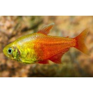 Тетра фон рио оранж (Hyphessobrycon flammeus orange) - 2-3см