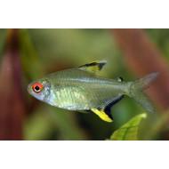 Тетра лимонная (Hyphessobrycon pulchripinnis) - 2.5см