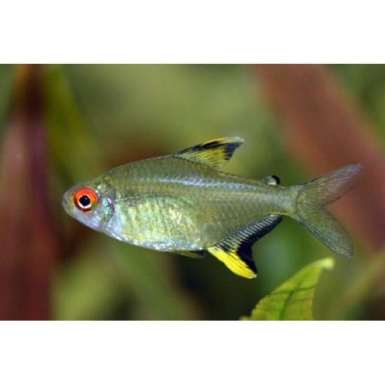 Фото Тетра лимонная (Hyphessobrycon pulchripinnis) - 2.5см Купить