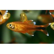 Тетра медная хасемания (Hasemania nana) - 2-2,5см
