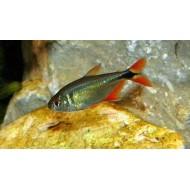 Тетрагоноптерус (Hemigrammus caudovittatus) - 3-3,5см