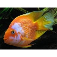 Трехгибридный попугай красно-белый (Hybrid cichlid) - 9-10см