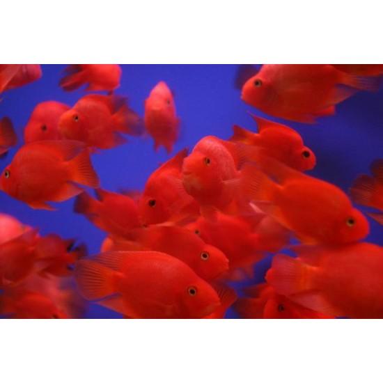 Фото Трехгибридный попугай красный (Hybrid cichlid) - 9-10см Смотреть