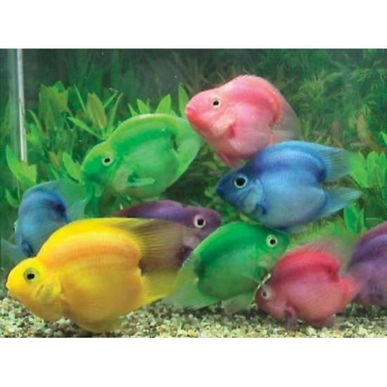 Фото Трехгибридный попугай зеленый (Hybrid cichlid) - 7-8см labeo.com.ua