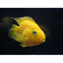 Трехгибридный попугай желтый (Hybrid cichlid) - 7-8см