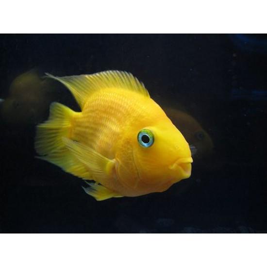 Фото Трехгибридный попугай желтый (Hybrid cichlid) - 8,5см Смотреть
