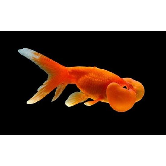 Фото Водяные глазки красные (Carassius auratus) - 6см labeo.com.ua