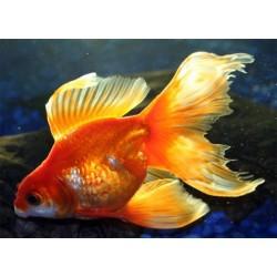 Вуалехвост красный, красно-белый (Carassius auratus) - 5см
