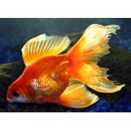 Вуалехвост красный, красно-белый (Carassius auratus) - 6см