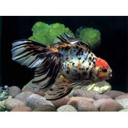 Вуалехвост ситцевый яркий (Carassius auratus) - 4-4,5см