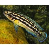 Юлидохромис марлиера (Julidochromis marlieri) - 4-5см