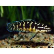 Юлидохромис транскриптус масковый гомби (Julidochromis transcriptus var.Gombi) - 3-4см
