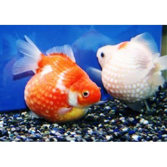 Фото Жемчужинка красная, красно-белая сортовая (Carassius auratus) - 3-3,5см Купить