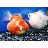 Жемчужинка красная, красно-белая, ситцевая сортовая (Carassius auratus) - 6см