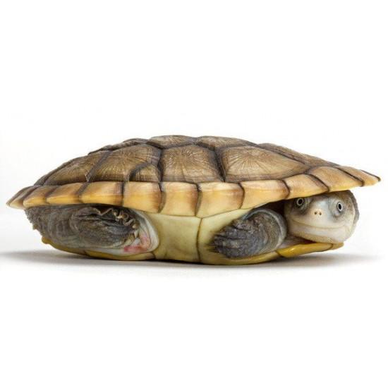 Фото Змеиношейная черепаха (Chelidae sp) - 5см Смотреть