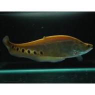 Золотой нож хитала (Chitala ornata) - 11-12см